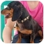 Photo 3 - Dachshund Dog for adoption in White Plains, New York - Bernie