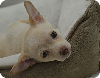Chihuahua Mix Puppy for adoption in Bridgeton, Missouri - Lennon