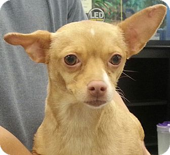 Chihuahua Mix Dog for adoption in Orlando, Florida - Suki