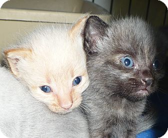 Domestic Shorthair Kitten for adoption in Pueblo West, Colorado - 1 Fostering Only