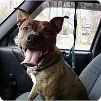 American Pit Bull Terrier Mix Dog for adoption in Dayton, Ohio - Rocket URGENT
