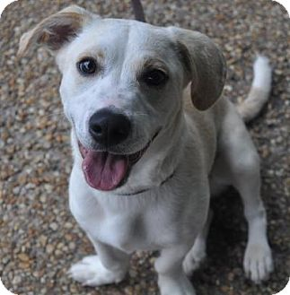 Herbie | Adopted Dog | Atlanta, GA | Dachshund/Labrador ... Selkirk Rex Atlanta