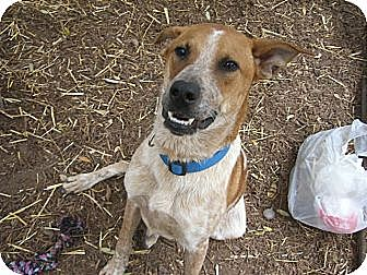 Labrador Retriever/Hound (Unknown Type) Mix Dog for adoption in Fair Oaks Ranch, Texas - Rocky