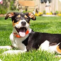 Adopt A Pet :: Pacer - Millersville, MD