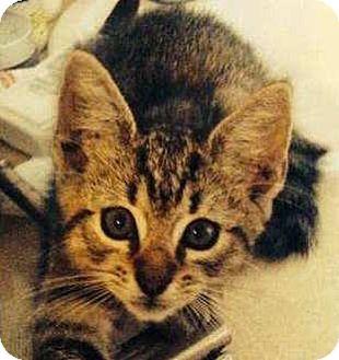 British Shorthair Kitten for adoption in Miami, Florida - Kit Kat