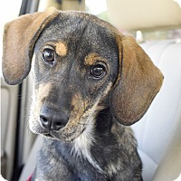 Adopt A Pet :: Gunther - Knoxville, TN