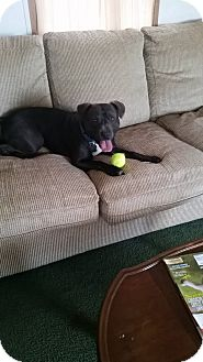 Pit Bull Terrier Mix Dog for adoption in East Smithfield, Pennsylvania - Roger