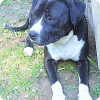 Bulldog/Labrador Retriever Mix Dog for adoption in Norfolk, Virginia - Cain