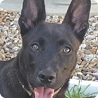 Adopt A Pet :: Midnight - Bloomington, IL