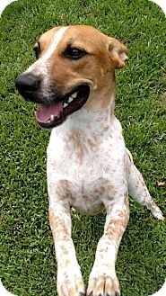 Australian Cattle Dog Mix Dog for adoption in Houston, Texas - Fergus 2