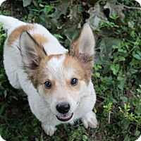 Adopt A Pet :: Blossom (Dols) - Washington, DC