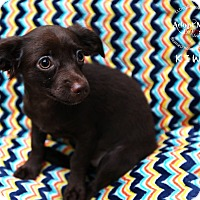 Adopt A Pet :: Kiwi - Shawnee Mission, KS