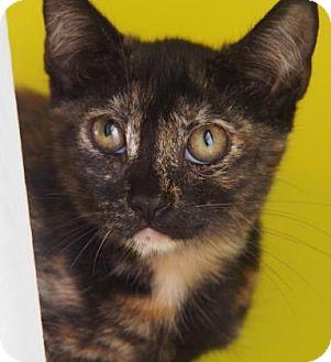 Domestic Shorthair Kitten for adoption in New Orleans, Louisiana - Jamaica
