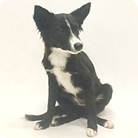 Adopt A Pet :: Laura - Show Low, AZ
