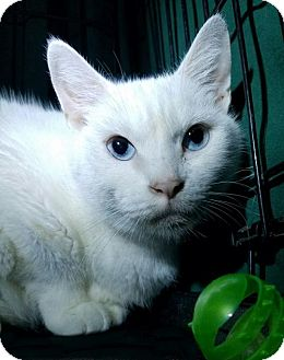 Domestic Shorthair Kitten for adoption in Orlando, Florida - Tootsie (MRM) 8.8.08