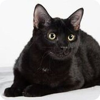 Domestic Shorthair Cat for adoption in Lambertville, New Jersey - Luke