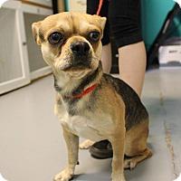 Pug/Chihuahua Mix Puppy for adoption in North Las Vegas, Nevada - Tigger