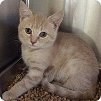 Adopt A Pet :: Pancake - Bridgewater, NJ