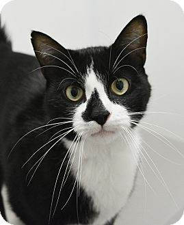 Domestic Shorthair Cat for adoption in Springfield, Illinois - Johnny