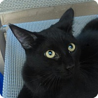Domestic Shorthair Cat for adoption in Chula Vista, California - Miguel