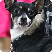 Rat Terrier/Terrier (Unknown Type, Medium) Mix Dog for adoption in Princeton, Minnesota - Collin