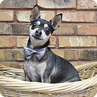 Adopt A Pet :: Stormy - Benbrook, TX