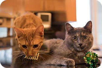 Domestic Shorthair Kitten for adoption in Staten Island, New York - ToniAnn and Patti