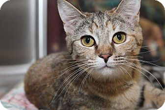 Domestic Shorthair Kitten for adoption in Media, Pennsylvania - Marlee (Winter Special)