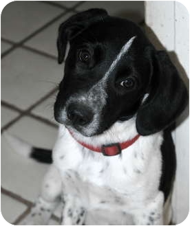 Pointer/Spaniel (Unknown Type) Mix Puppy for adoption in Phoenix, Arizona - Snoopy