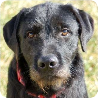 lab terrier mix irish wolfhound airedale mix airedale terrier mix