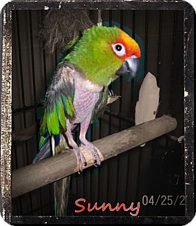 Conure for adoption in Lexington, Georgia - Sunny