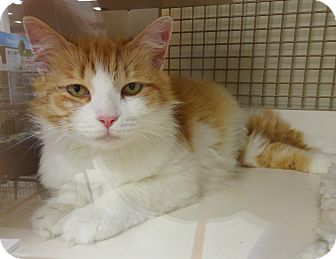 Domestic Longhair Cat for adoption in N. Billerica, Massachusetts - Stella