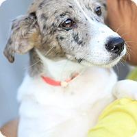 Adopt A Pet :: Gumdrop - Phoenix, AZ