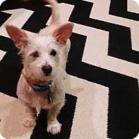 Adopt A Pet :: Lambchop - San Antonio, TX