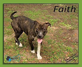 Labrador Retriever/Pit Bull Terrier Mix Dog for adoption in Sarasota, Florida - Faith
