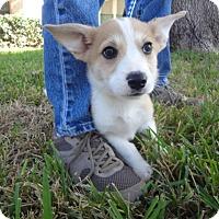 Adopt A Pet :: Burrito - Bedford, TX