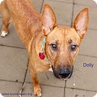 Adopt A Pet :: Dolly - Bloomington, MN