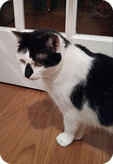 Domestic Shorthair Cat for adoption in Lenhartsville, Pennsylvania - Sissy