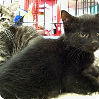 Domestic Shorthair Kitten for adoption in Sterling Heights, Michigan - Becca