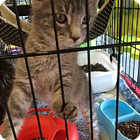 Adopt A Pet :: More Kittens - Clay, NY