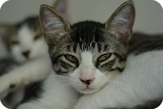 Domestic Shorthair Kitten for adoption in West Palm Beach, Florida - Cookie