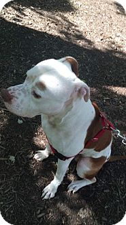 American Pit Bull Terrier/American Staffordshire Terrier Mix Dog for adoption in Kill Devil Hills, North Carolina - Pete