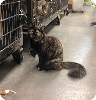 Domestic Mediumhair Cat for adoption in San Leandro, California - Blossom