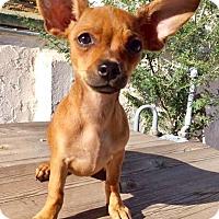 Adopt A Pet :: OS Magnolia - Tucson, AZ