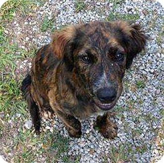 Golden Retriever/Spaniel (Unknown Type) Mix Dog for adoption in Baileyton, Alabama - Lisa