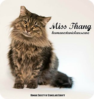 Maine Coon Cat for adoption in Modesto, California - Miss Thang