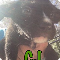 Adopt A Pet :: CJ - Smithtown, NY