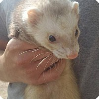 Ferret for adoption in Cleveland, Ohio - Mica