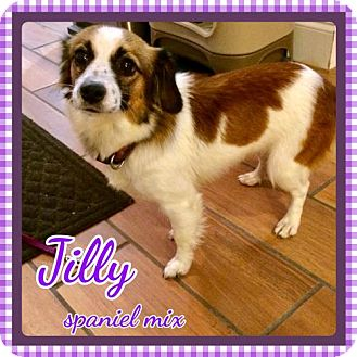 Spaniel (Unknown Type) Mix Dog for adoption in Bogalusa, Louisiana - Jilly