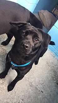 Dachshund Mix Dog for adoption in Joplin, Missouri - Midnight